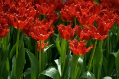Tulips red 27