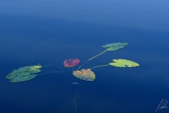Water Lilies leafs